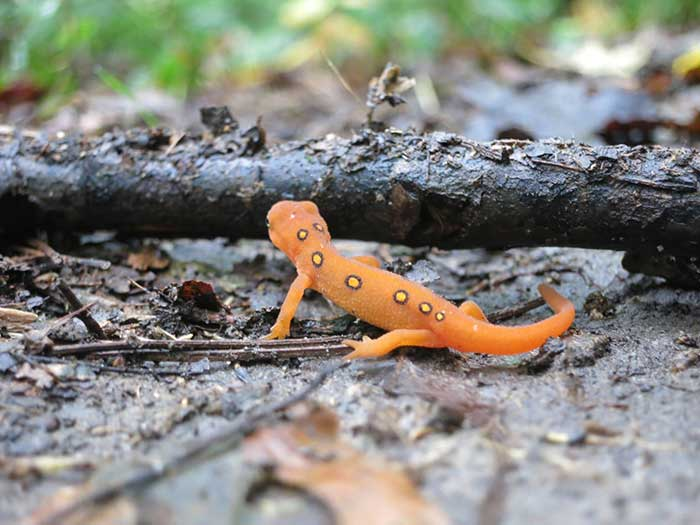 Forest Wildlife album cover, red eft